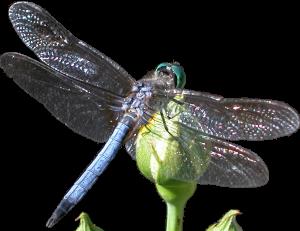 bluedragonfly-clear-clean-bg